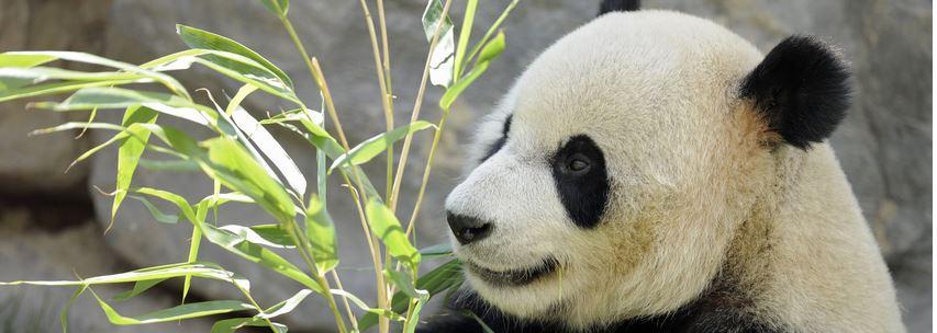 panda pairi daiza voyagesremi